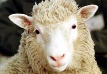 Dolly, o primeiro mamífero clonado.