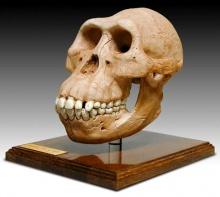 Réplica do crânio do Australopitecus.