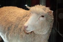 A ovelha Dolly. Fotógrafo Tony Barros / Wikimedia Commons.