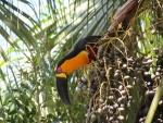 Tucano-de-bico-preto, ou tucano-de-peito-amarelo, ou tucano-pacova, em uma das palmeiras do campus Gávea. Fotógrafo Antônio Albuquerque. Acervo Núcleo de Memória.
